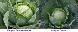 Какие сорта капусты лучшие для засолки и хранения