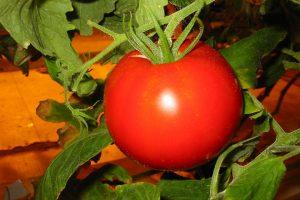 Наиболее популярные урожайные сорта помидоров для теплицы