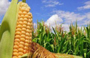 Кукуруза – это ягода, овощ или фрукт