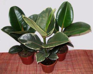 Лучшие нецветущие комнатные растения