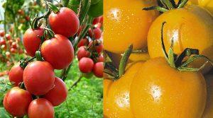 Лучшие высокорослые и высокоурожайные сорта томатов для теплиц