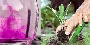 Можно ли поливать цветы марганцовкой