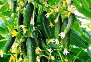 Наиболее популярные самоопыляемые семена огурцов для теплицы