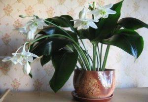 Названия лучших луковичных комнатных растений