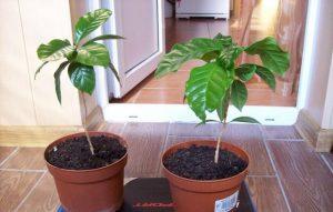 Особенности выращивания кофейного дерева в домашних условиях