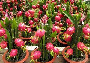 Особенности выращивания питахайи из семян в домашних условиях
