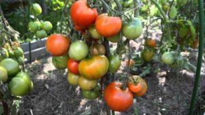 Популярные сорта томатов для теплицы, устойчивые к фитофторе