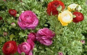 Посадка и уход за садовыми лютиками