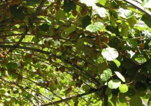 Пошаговое выращивание и уход за актинидией в домашних условиях