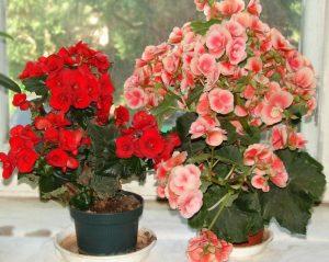 Пошаговое выращивание и уход за бегонией в домашних условиях