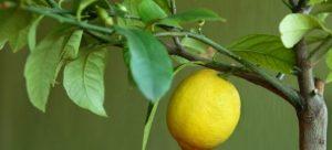 Пошаговое выращивание и уход за лимоном в домашних условиях