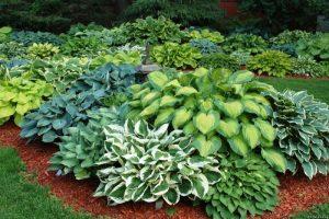 Пошаговое выращивание и уход за хостой в домашних условиях