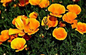 Правила выращивания эшшольции из семян, и когда ее сажать