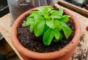 Правила выращивания стевии из семян, и когда ее сажать
