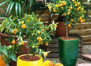 Способы выращивания кумквата в домашних условиях