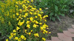 Уход, посадка и выращивание многолетней энотеры