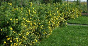 Уход, размножение и выращивание кустарниковой лапчатки