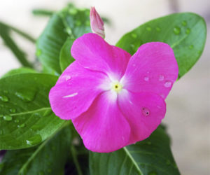 Выращивание, фото и уход в домашних условиях за катарантусом