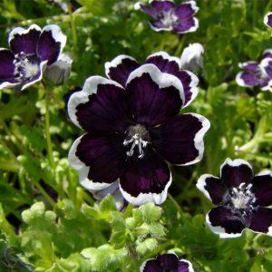 Выращивание, фото и уход в домашних условиях за немофилой