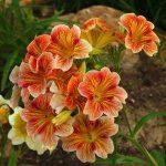 Выращивание, фото и уход в домашних условиях за сальпиглоссисом