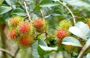 Выращивание фрукта рамбутан в домашних условиях