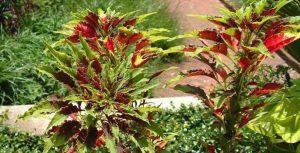 Выращивание и уход за амарантом
