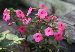 Выращивание и уход за ахименесами