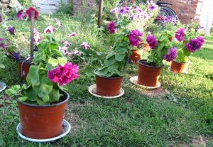 Выращивание и уход за петуньей