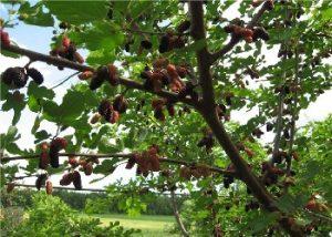 Выращивание шелковицы в Подмосковье