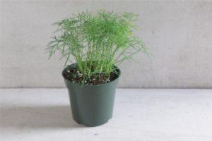 Как выращивать укроп из семян на подоконнике