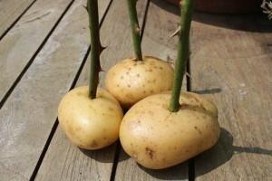 Роза из картошки