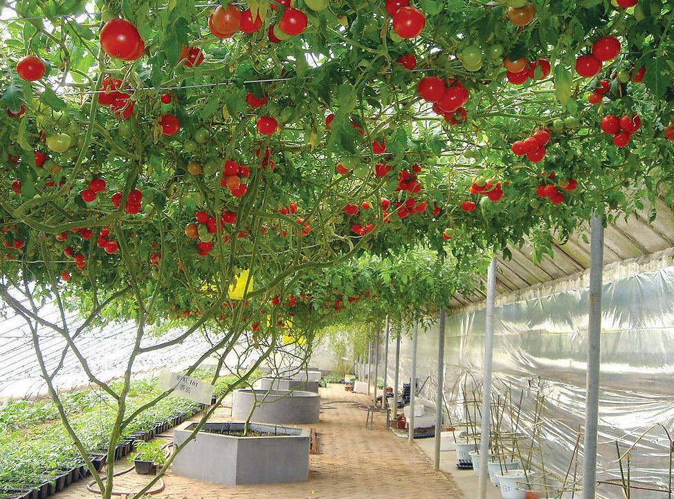 недавно знаменитость томатное дерево фото описание просто уникальный