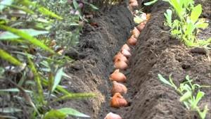 Пересадка луковиц тюльпанов