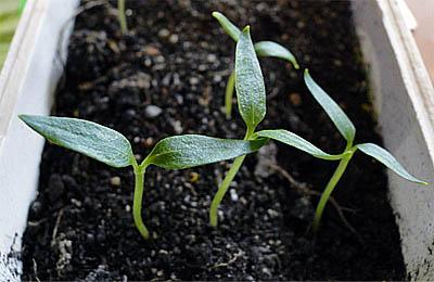 удобрение из золы для рассады перца