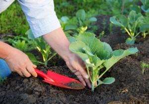 Подкормка рассады капусты