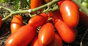 Ранние сорта помидоров