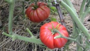 Сорт помидоров Дикая роза