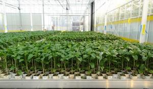 Выращивания перцев