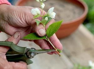 Размножение жасмина черенками