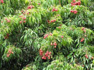 Выращивание фрукта личи
