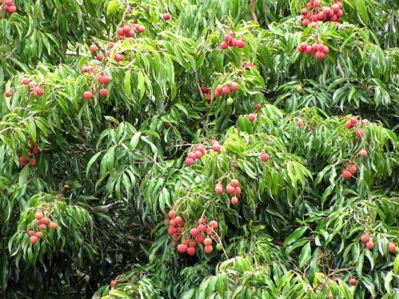 какой фрукт можно вырастить