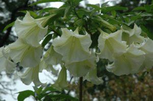 Датура – посадка и выращивание из семян в домашних условиях