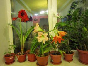 Выращивание и уход за гиппеаструмом в домашних условиях