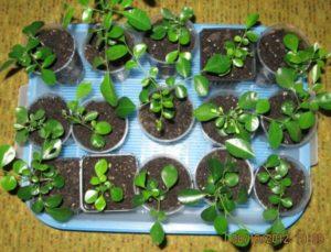 Выращивание муррайи в домашних условиях из семян