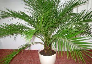 Выращивание финиковой пальмы из косточки в домашних условиях
