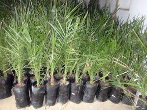 финиковой пальмы из косточки