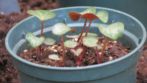 Подготавливаем и высеваем семена