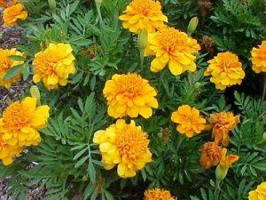 Какие есть желтые садовые цветы