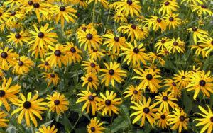 Однолетние желтые цветы