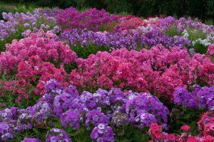 Однолетние цветы для клумб